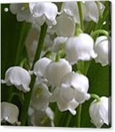 Lily Of The Valley 3 Acrylic Print
