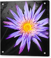 Lily Pad In Bloom Acrylic Print