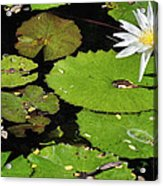 Lily Pads And Lotus Flower Acrylic Print