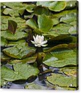 Lily Pads Acrylic Print