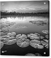 Lily Pads In The Glades Black And White Acrylic Print