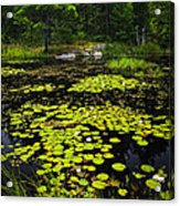 Lily Pads On Lake Acrylic Print