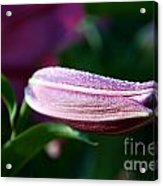 Lily Pearls Acrylic Print