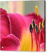 Lily Photo - Flower - Rusty Red Acrylic Print
