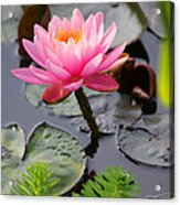 Lily Pink Acrylic Print