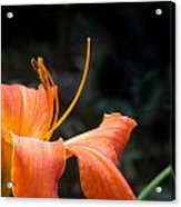 Lily Showing Pistil And Anthers Acrylic Print