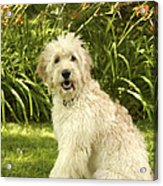 Lily The Goldendoodle With Daylilies Acrylic Print