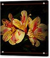 Lily Trio Acrylic Print