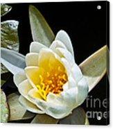 Lilypad Acrylic Print
