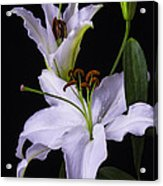 Lily's In Bloom Acrylic Print