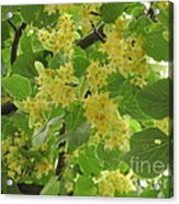 Lime Trees In Bloom  Acrylic Print