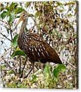 Limpkin In A Tree Acrylic Print