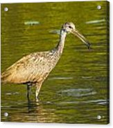 Limpkin With A Snack Acrylic Print