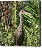 Limpkin With An Apple Snail Acrylic Print