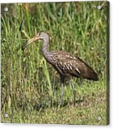 Limpkin With Apple Snail Acrylic Print