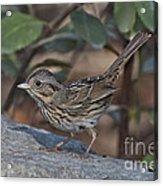 Lincolns Sparrow Acrylic Print