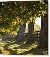 Line Of Maple Trees Along Rural Road In Acrylic Print