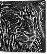 Lion - 2 Acrylic Print