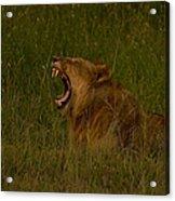 Lion   #1050 Acrylic Print