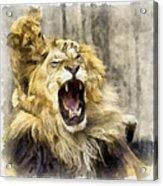 Lion 15 Acrylic Print