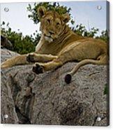 Lion   #1646 Acrylic Print