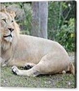 Lion Around Acrylic Print