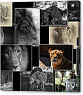 Lion Collage Acrylic Print