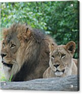 Lion Couple Acrylic Print