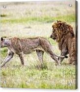 Lion Couple Acrylic Print
