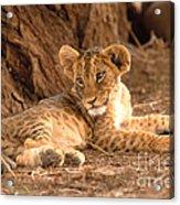 Lion Cub Panthera Leo Acrylic Print