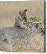 Lion Cub Playing With Female Lion Acrylic Print