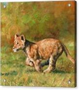 Lion Cub Running Acrylic Print