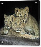 Three Lion Cubs Acrylic Print