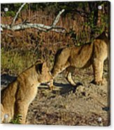 Lion Cubs Of Zimbabwe  Acrylic Print