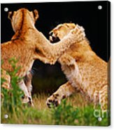 Lion Cubs Playing In The Grass Acrylic Print