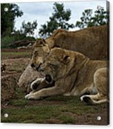 Lion - Get Off Me Acrylic Print by Graham Palmer