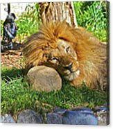 Lion In Repose Acrylic Print