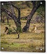 Lion In The Dog House Acrylic Print by Darcy Michaelchuk