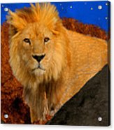 Lion In The Evening Acrylic Print