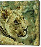 Lion Looking Back Acrylic Print
