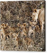Lion Love Acrylic Print