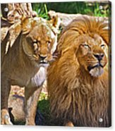 Lion Mates Acrylic Print