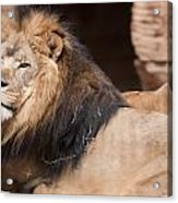 Lion Portrait Of The King Of Beasts Acrylic Print