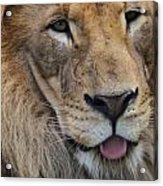 Lion Portrait Panting Acrylic Print