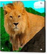 Lion Prowling Acrylic Print