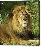 Lion Resting Acrylic Print