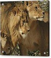 Lion Reunion Acrylic Print by Jamie Bishop