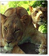 Lioness-00104 Acrylic Print