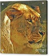 Lioness 2012 Acrylic Print