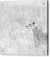 Lioness In Black And White Acrylic Print